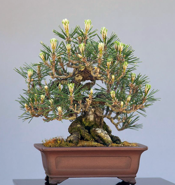 Shohin Black pine. The tree is about 6-inches tall