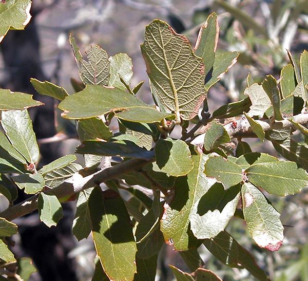 Goldcup Oak