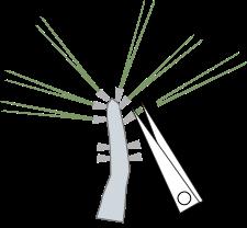 Cut tough needles, or on Cork Bark Pines