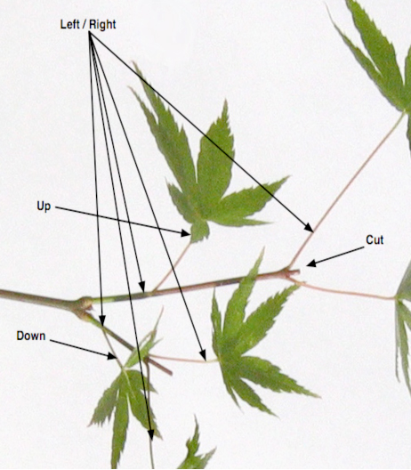 Leaf orientation – left / right pairs alternate with up / down pairs