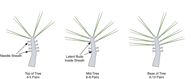 Thin needles according to their position on the tree