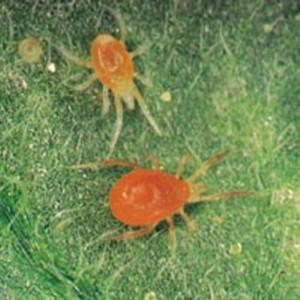 Red Spider Mites (from redspidermites.net)