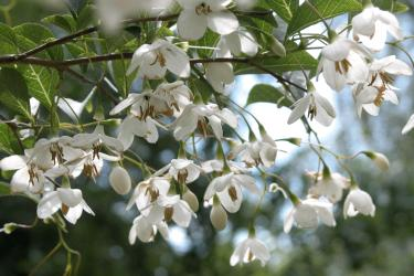 Japanese Snowbell - Styrax Japonica
