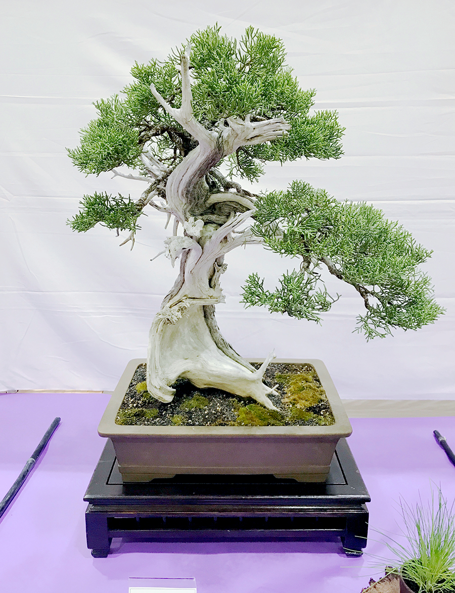 One of the trees on display at the San Jose Betusin Club Show