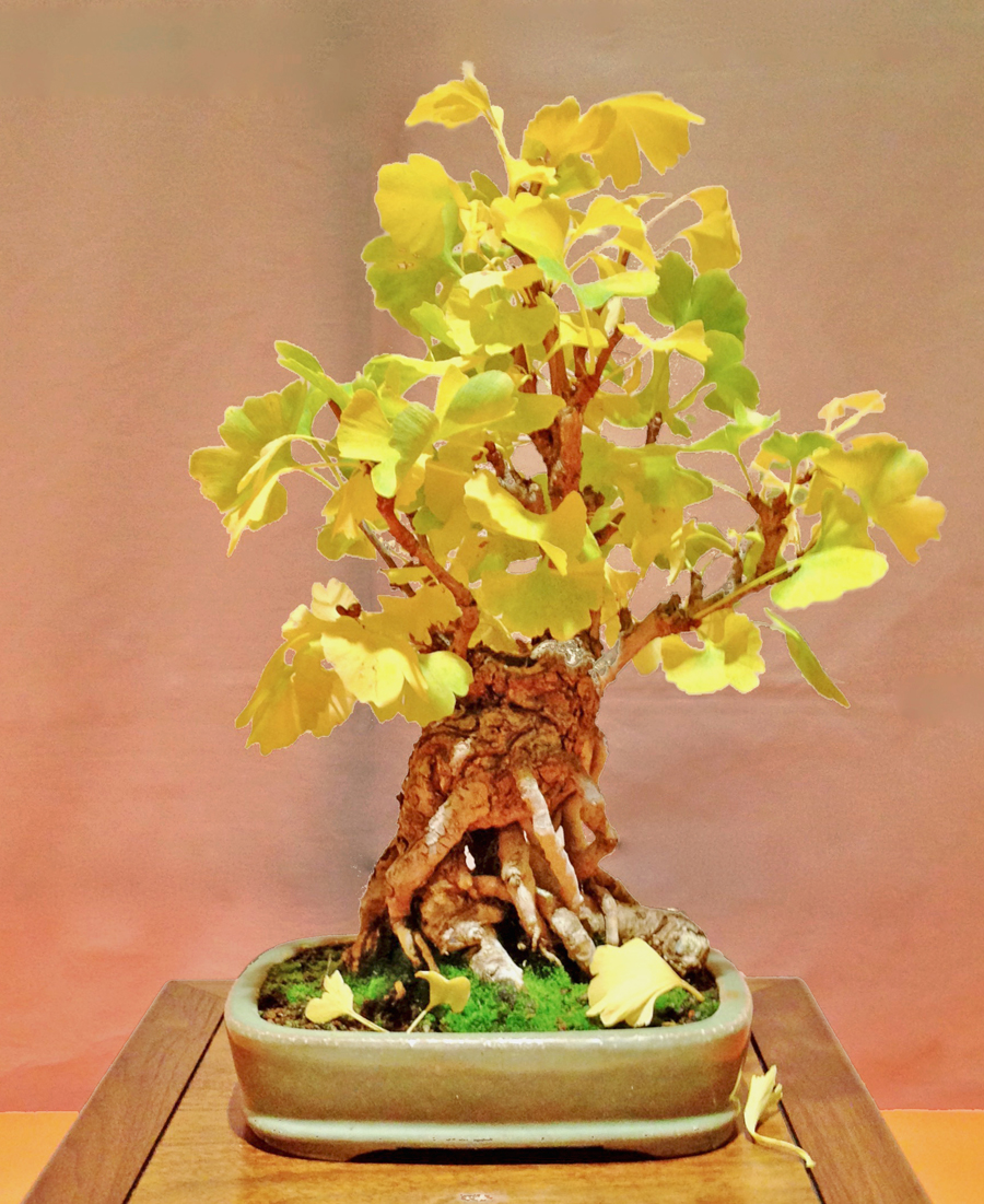 Ginkgo in Fall Colors by Alison Seaman @ Marin Bonsai Show, October 2013