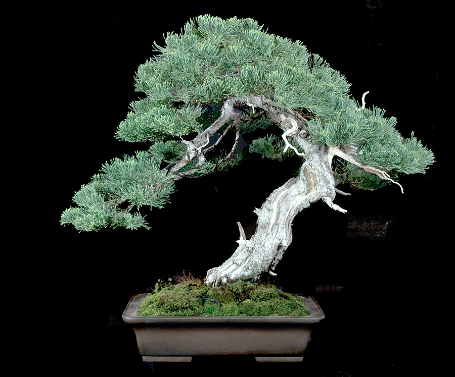 Hollywood Juniper from our 2018 Show