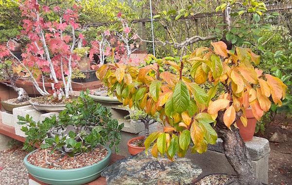 Fall color in the bonsai garden